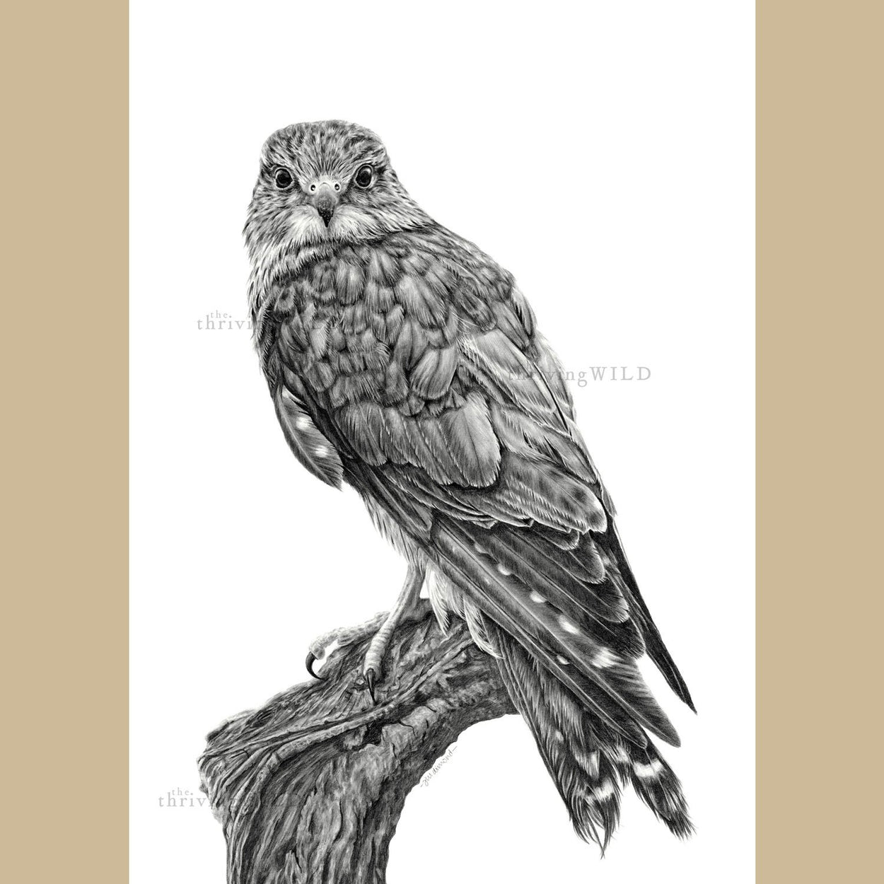Merlin Bird of Prey Drawing - The Thriving Wild