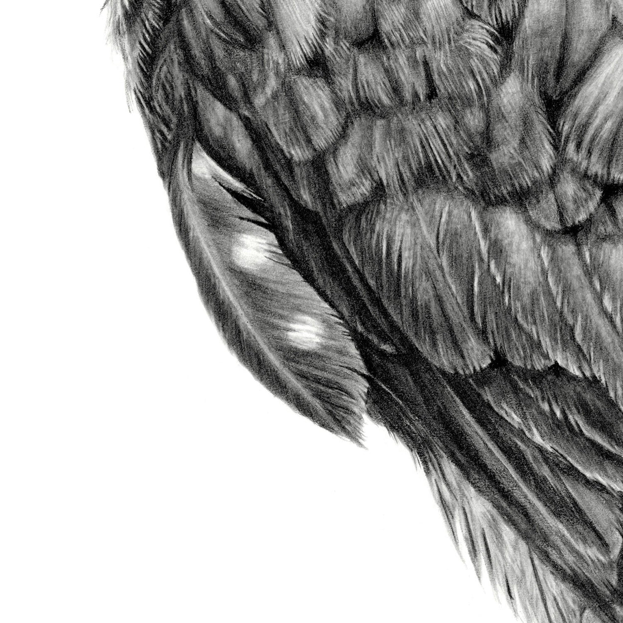 Merlin Feathers Drawing Close-up 2 - The Thriving Wild