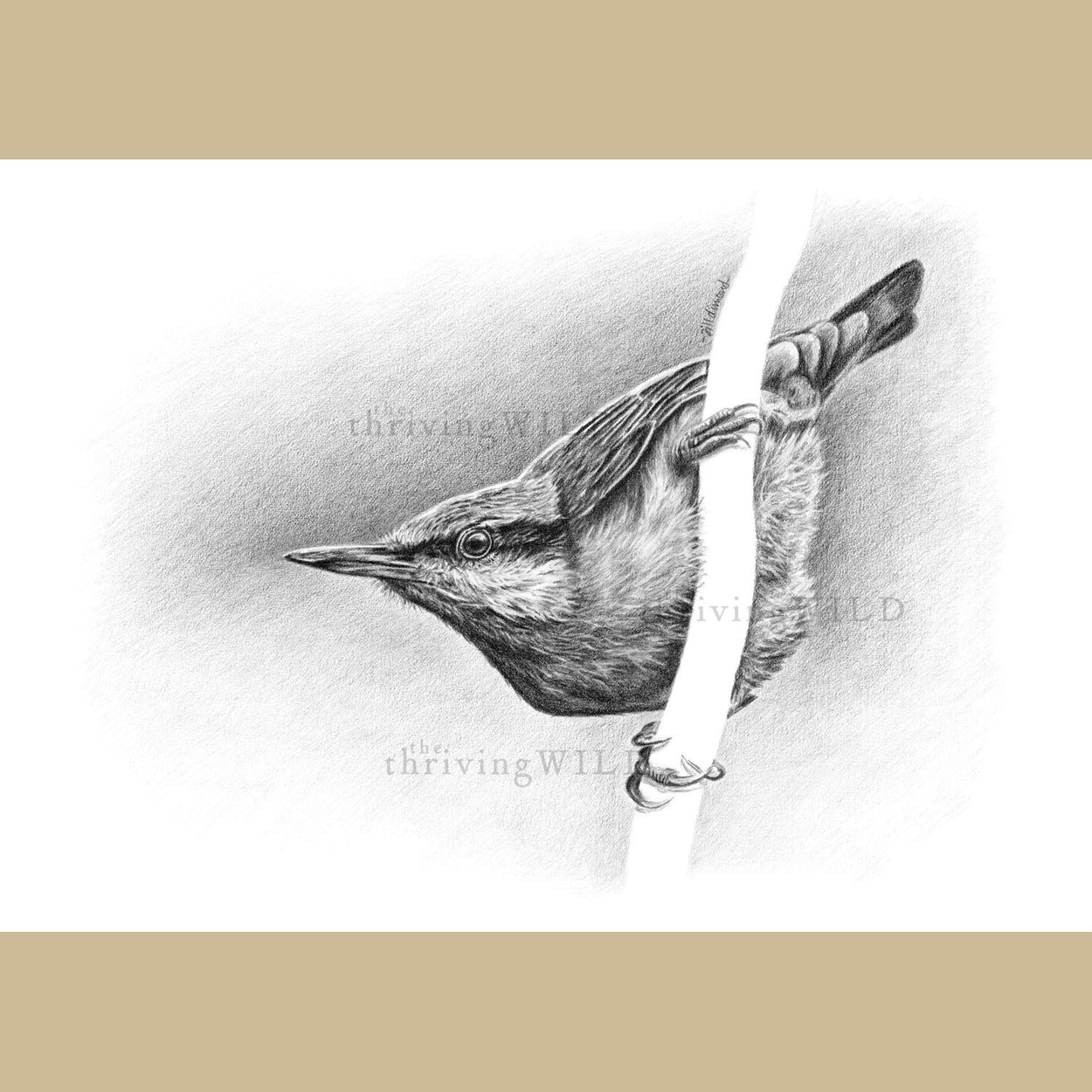 Nuthatch Bird Pencil Drawing - The Thriving Wild - Jill Dimond