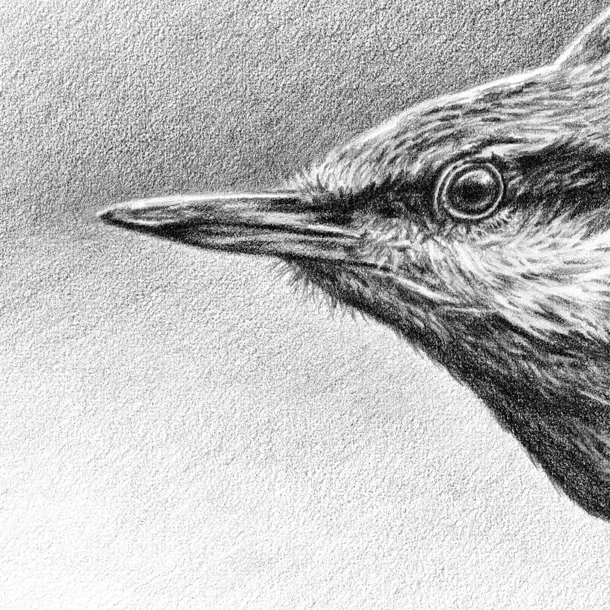 Nuthatch Drawing Close-up 1 - The Thriving Wild