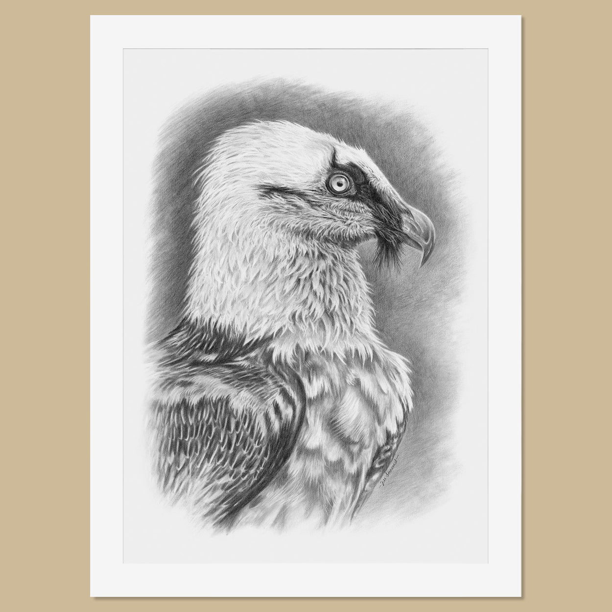 Original Bearded Vulture Pencil Drawing - The Thriving Wild - Jill Dimond