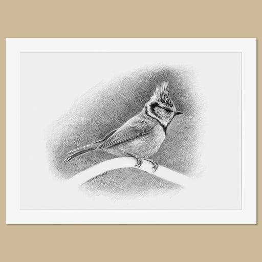 Original Crested Tit Pencil Drawing - The Thriving Wild - Jill Dimond