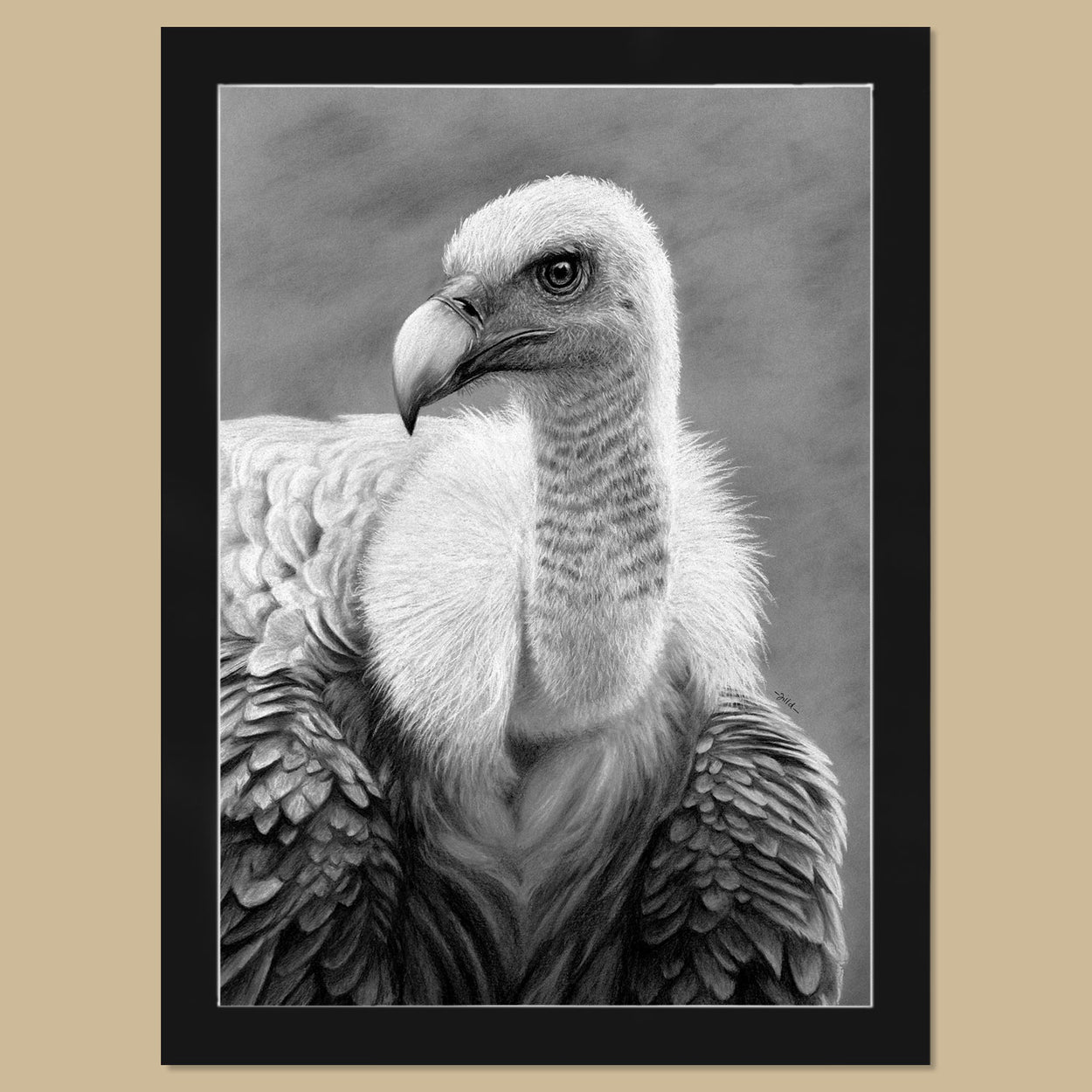 Original Griffon Vulture Charcoal Drawing - Gyps Fulvus - The Thriving Wild - Jill Dimond