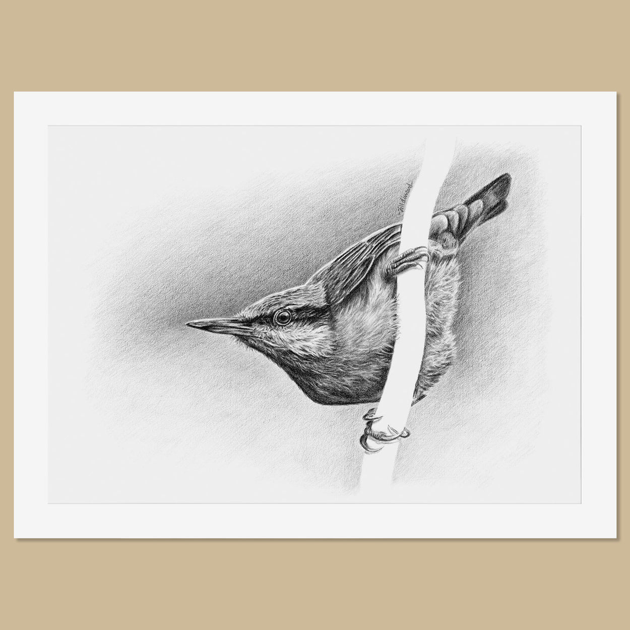 Original Nuthatch Pencil Drawing - The Thriving Wild - Jill Dimond