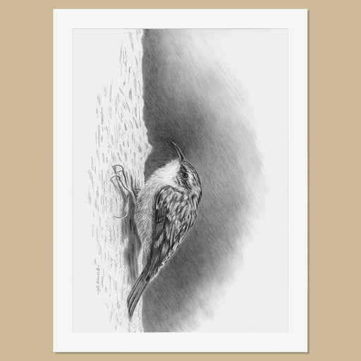 Original Treecreeper Pencil Drawing - The Thriving Wild - Jill Dimond