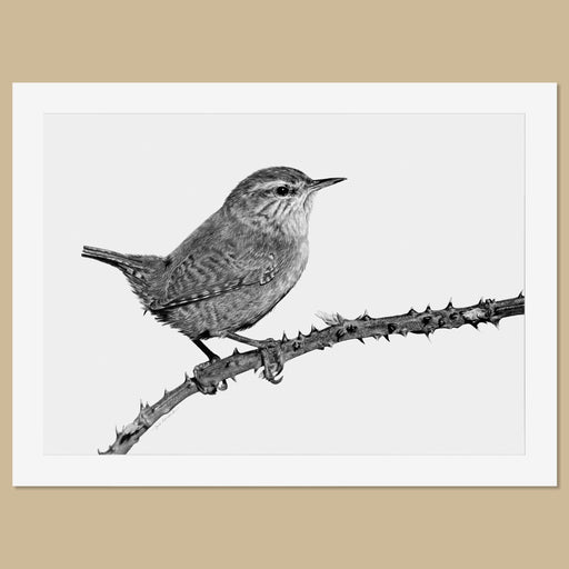 Original Wren Pencil Drawing - The Thriving Wild