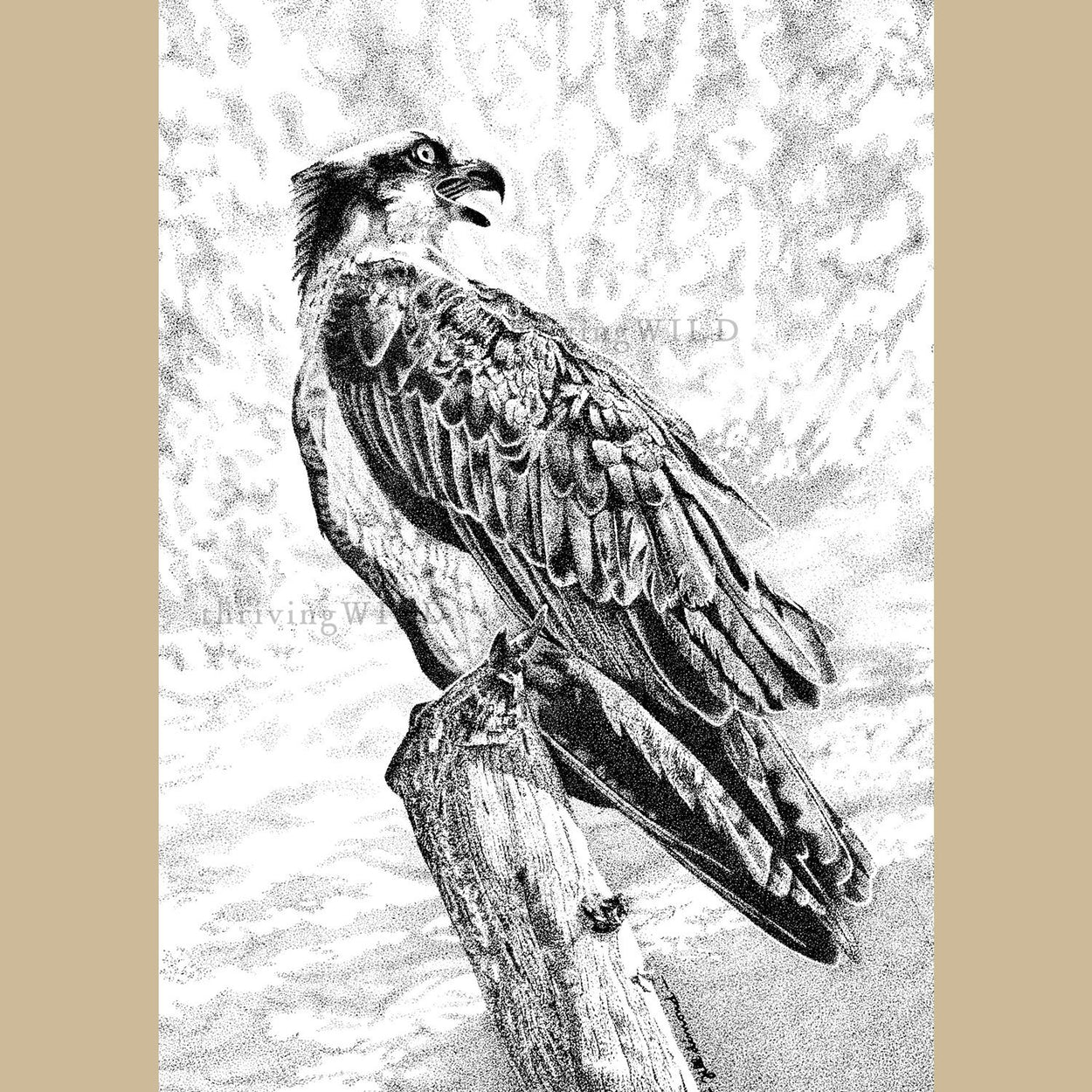 Osprey Pen Stippling Drawing - The Thriving WIld