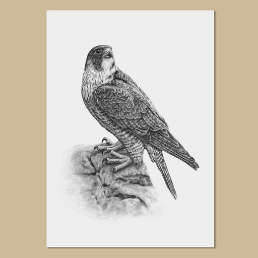 Peregrine Falcon Art Prints - The Thriving Wild - Jill Dimond