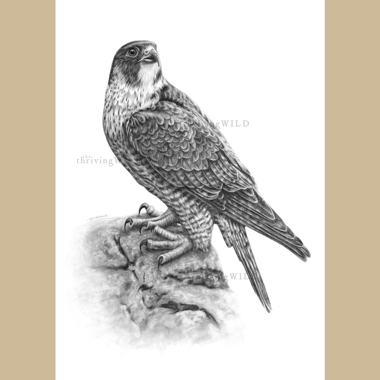 Peregrine Falcon Pencil Drawing - The Thriving Wild - Jill Dimond