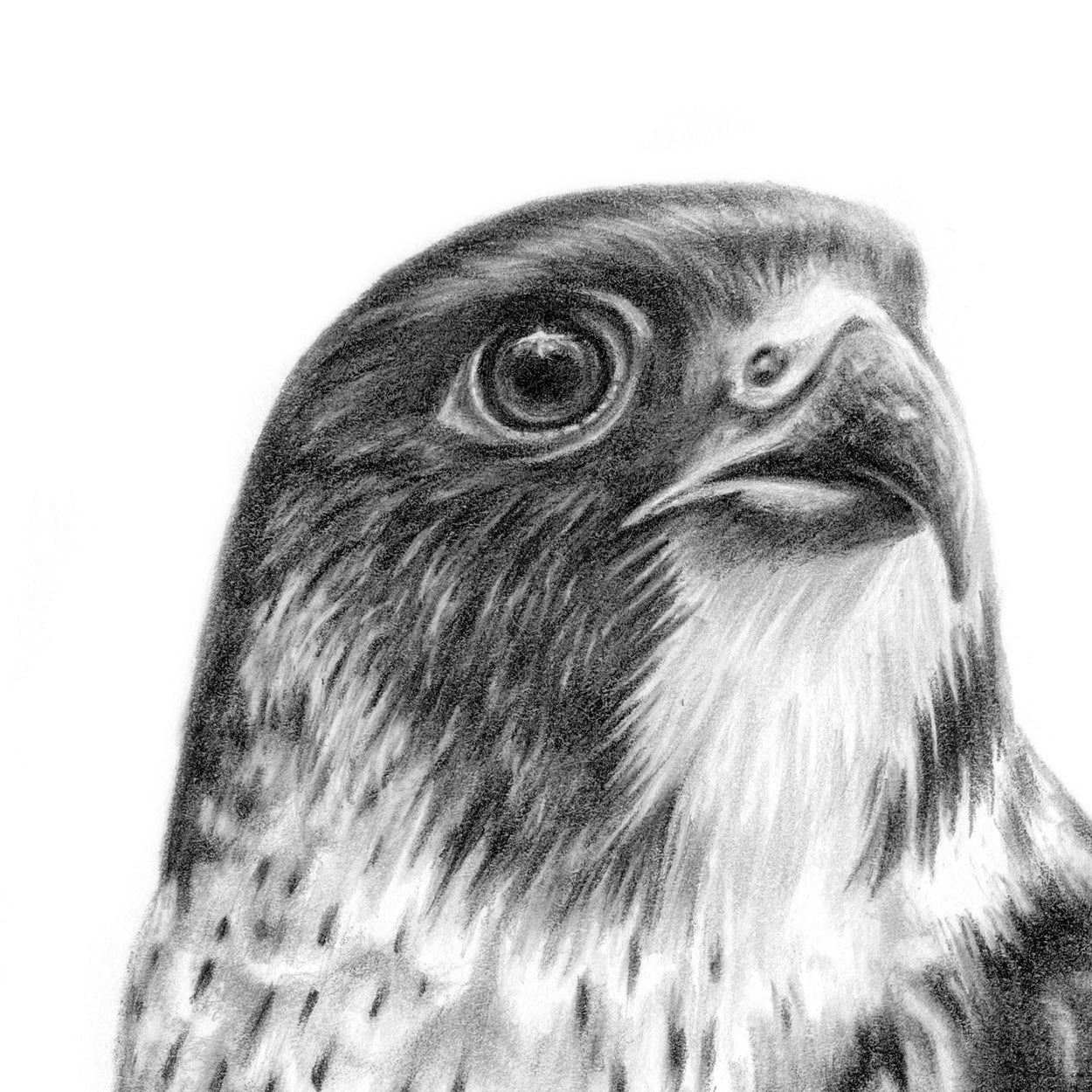Peregrine Pencil Drawing Close-up 1 - The Thriving Wild - Jill Dimond