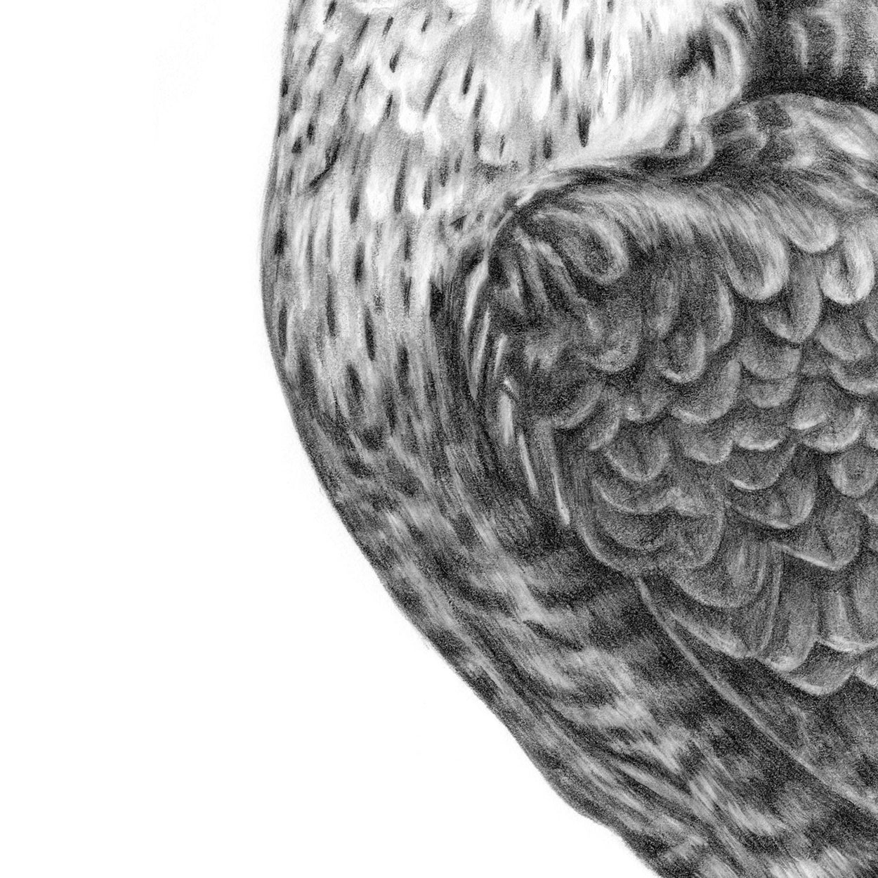 Peregrine Pencil Drawing Close-up 2 - The Thriving Wild - Jill Dimond