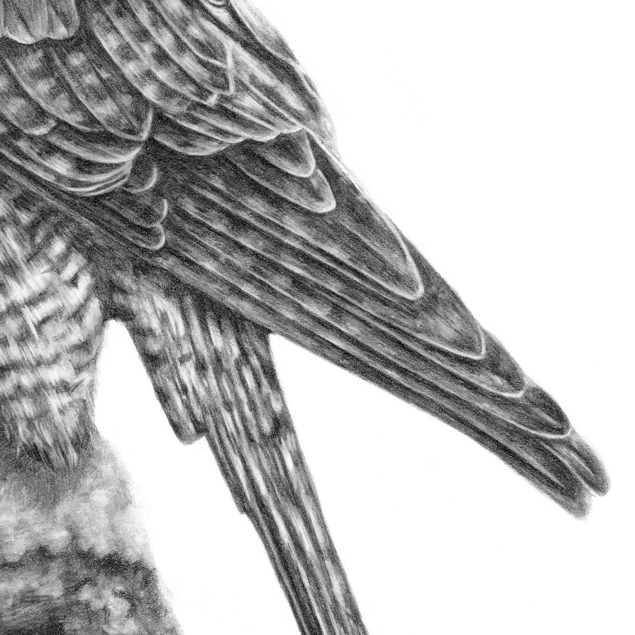 Peregrine Pencil Drawing Close-up 3 - The Thriving Wild - Jill Dimond