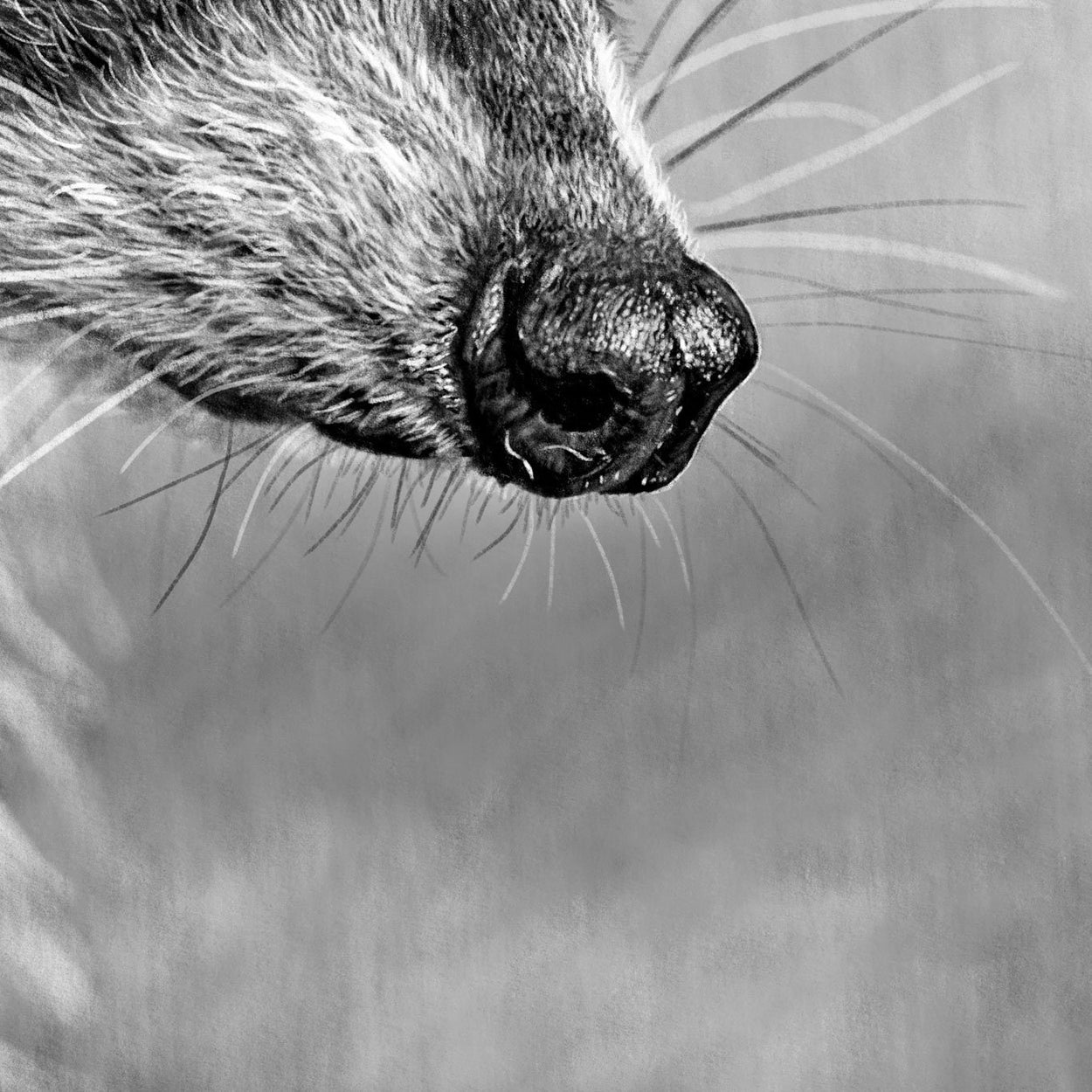 Raccoon Digital Drawing Close-up - The Thriving Wild