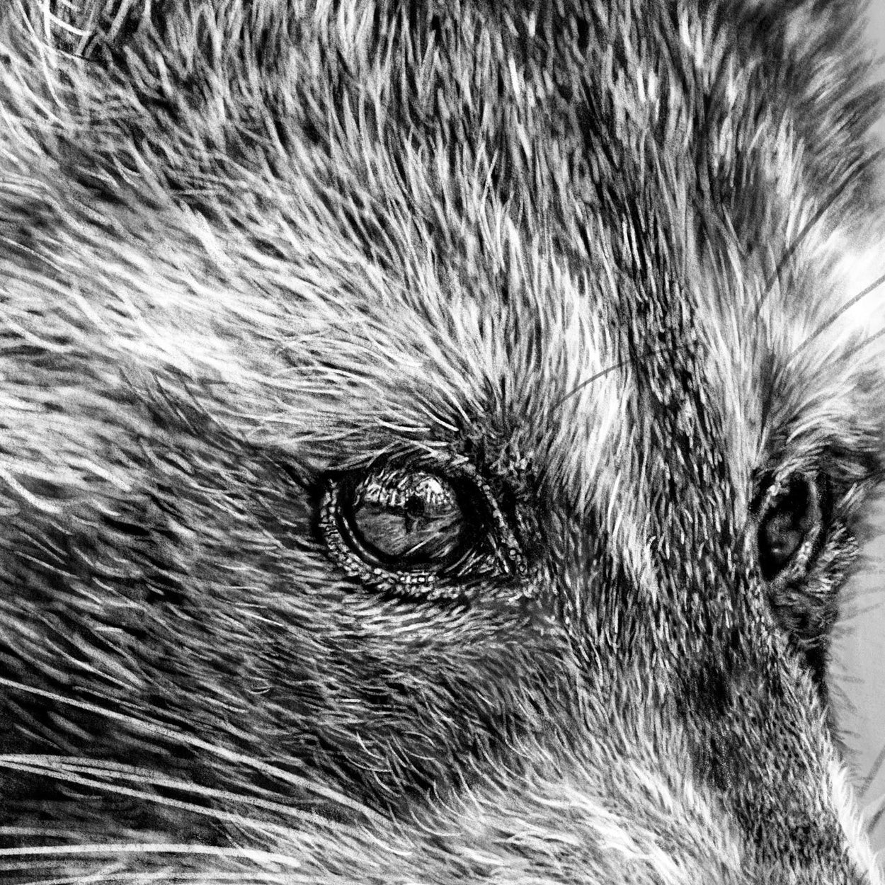 Raccoon Procreate Drawing Close-up - The Thriving Wild