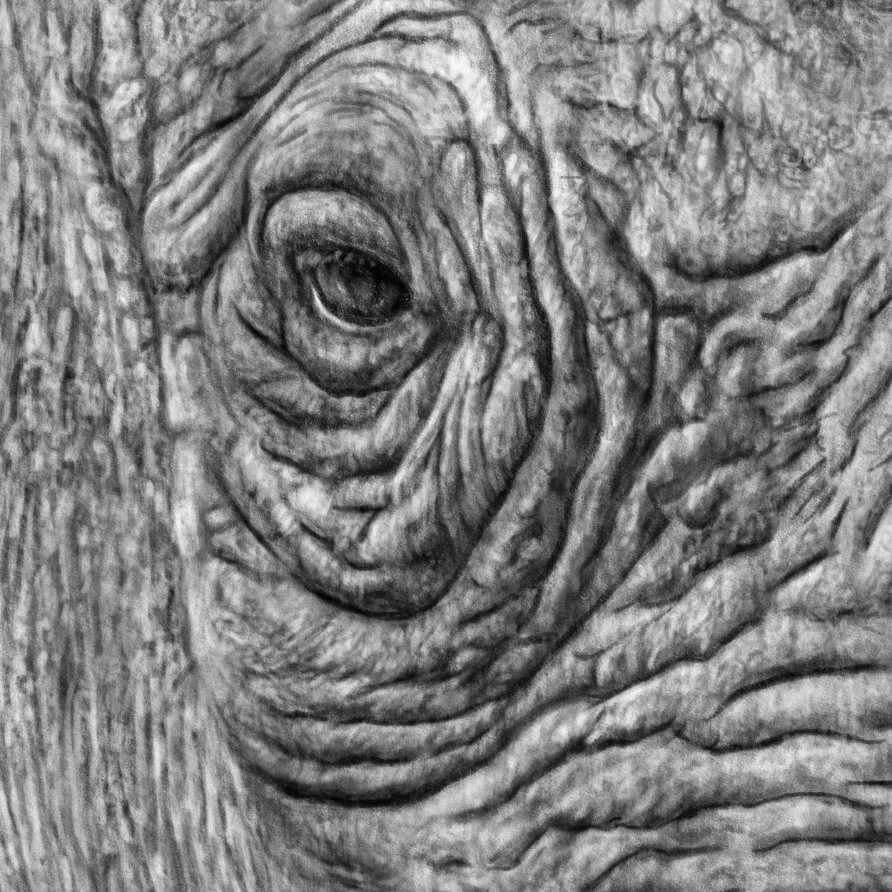 Rhinoceros Drawing Close-up - The Thriving Wild