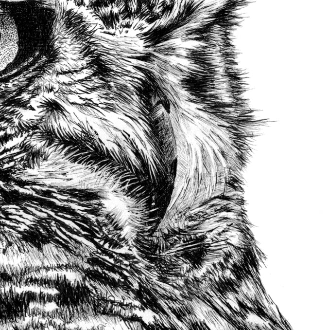 Spotted Eagle Owl Pen Drawing Close-up - The Thriving Wild