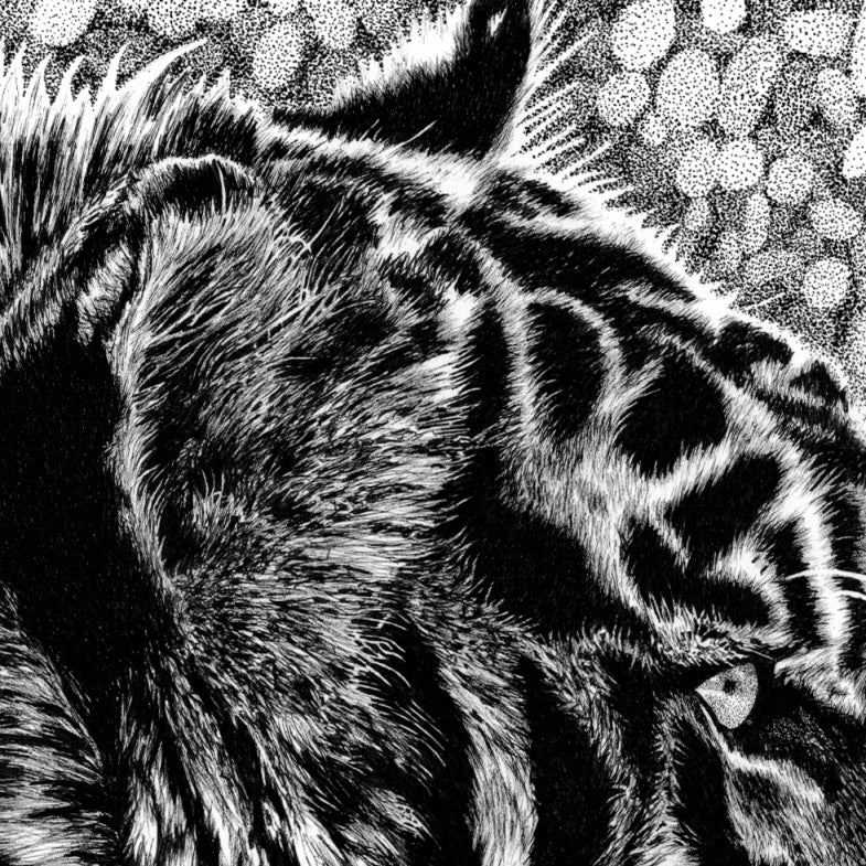 Tiger Drawing Close-up - The Thriving Wild