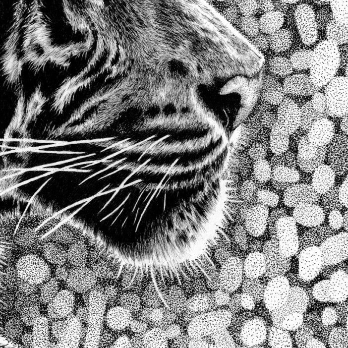 Tiger Nose Close-up Drawing - The Thriving Wild