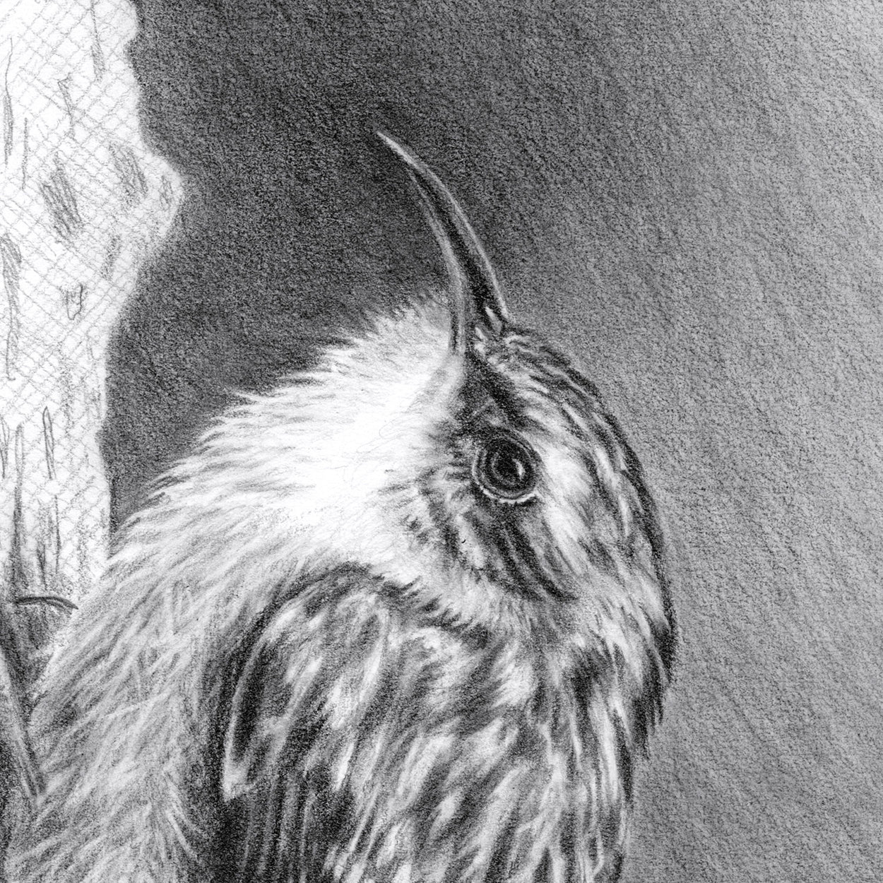 Treecreeper Bird Drawing Close-up 1