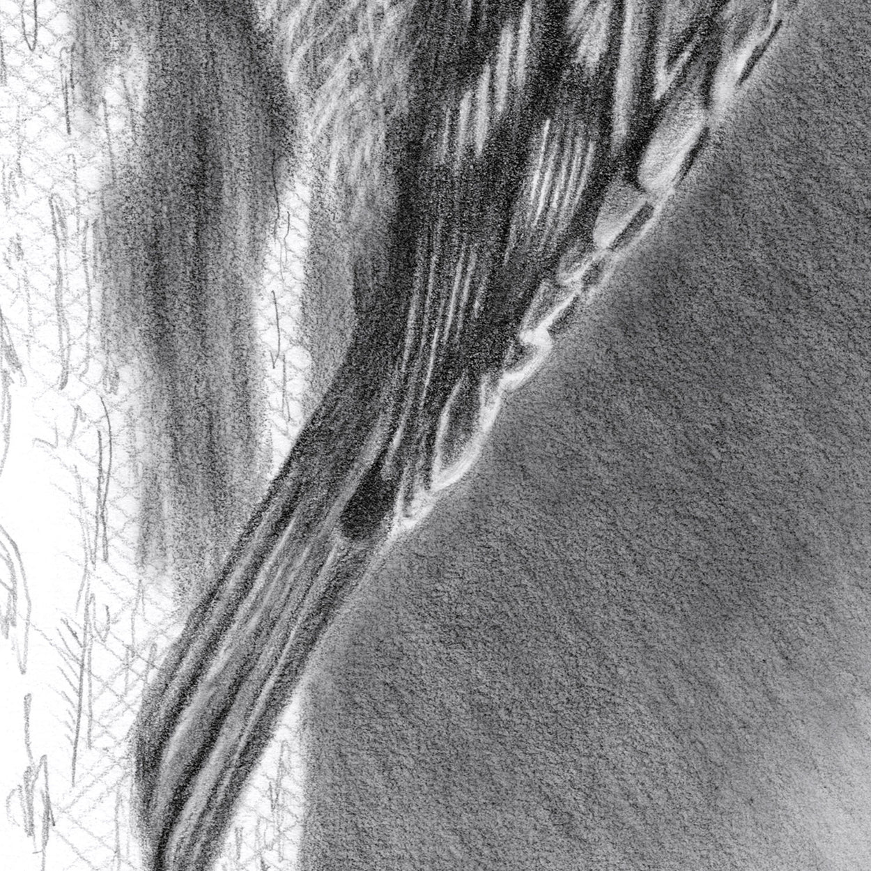 Treecreeper Bird Drawing Close-up 3