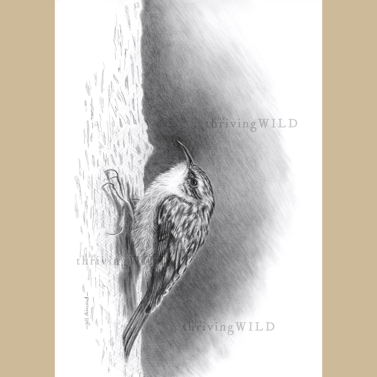 Treecreeper Bird Graphite Penci Drawing - The Thriving Wild - Jill DImond