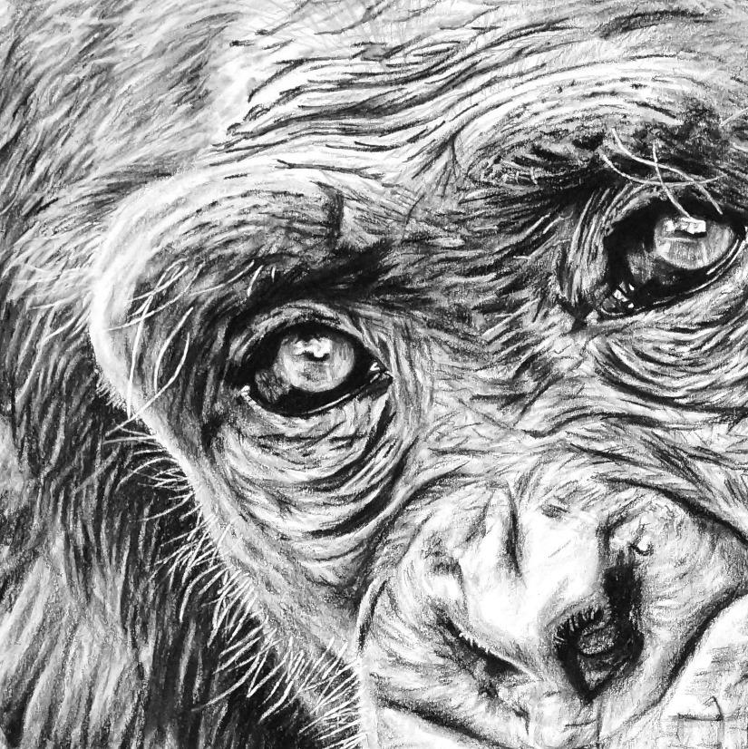 Wildlife Pencil Drawing Chimp Close-up - The Thriving Wild