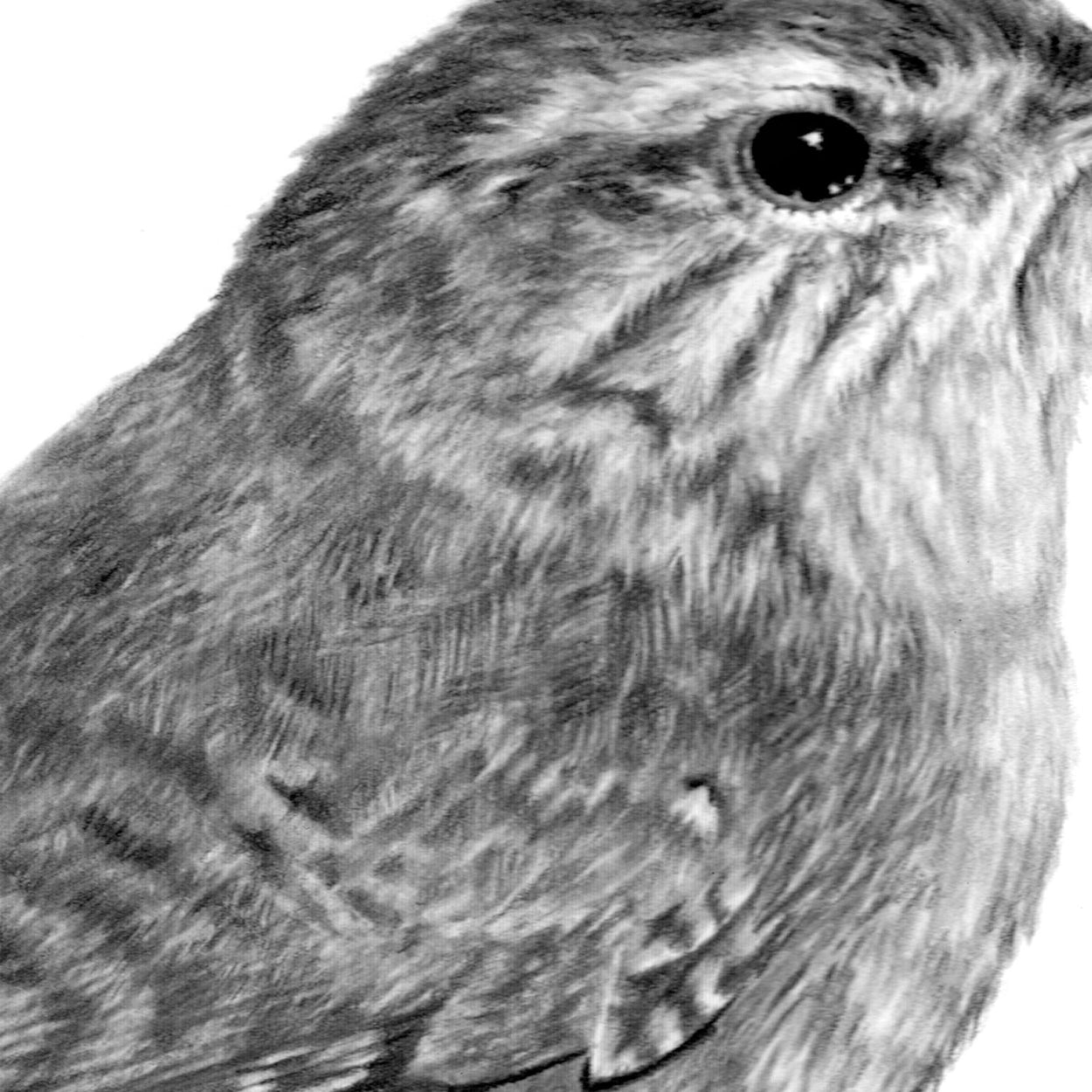 Wren Graphite Drawing Detail - The Thriving Wild