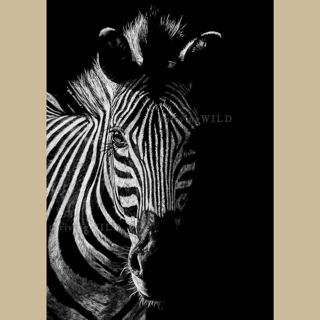 Zebra Drawing Coloured Pencil - The Thriving Wild