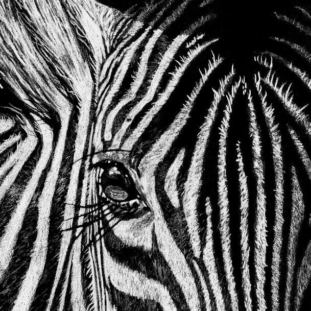 Zebra Eye Drawing Close-up - The Thriving Wild