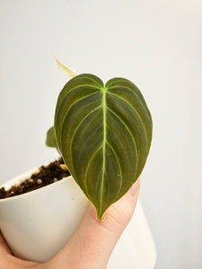 Philodendron melanochrysum (cutting)