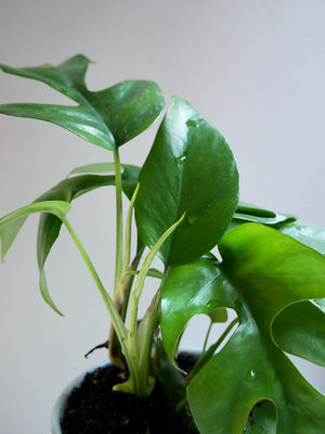 "Rhaphidophora tetrasperma (""Mini Monstera"")"