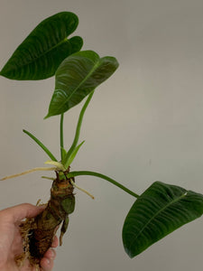 Anthurium veitchii CUTTING, 'King Anthurium'