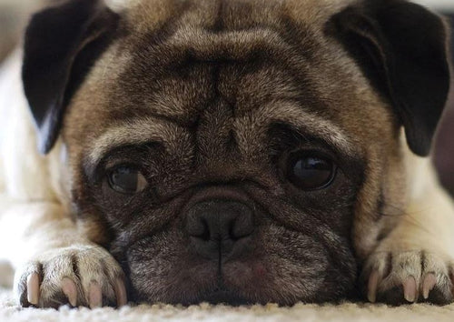 Taking the Fear Out of Brachycephalic Anesthesia
