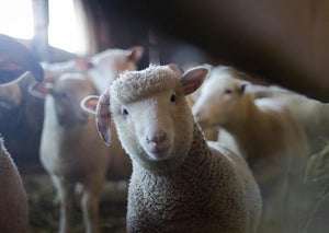 Trace Elements in Sheep - Are They Really a Cure All?