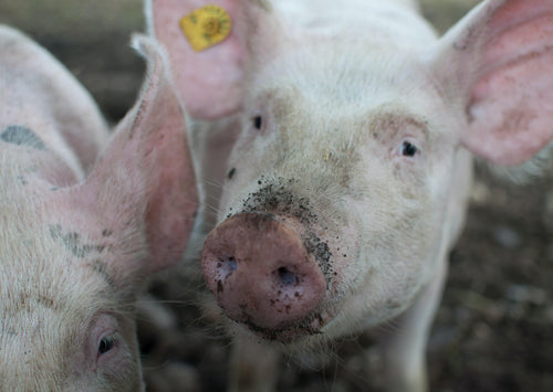 Notifiable Diseases of Pigs