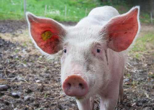 The Individual Pig - Treatment Options, Handling and Euthanasia