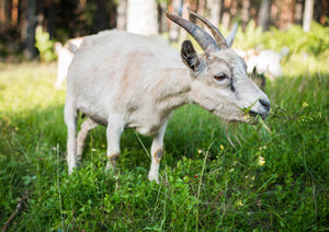 Tackling the Goat - Not a Cow, But Not Quite a Sheep - The Next Chapter