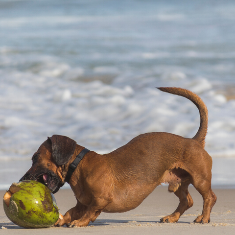 how to give your dog coconut oil. benefits of coconut oil for dogs, better dog breath