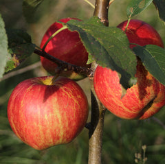 LANDWORKERS' SKILLS: PRUNING AND GRAFTING APPLE TREES