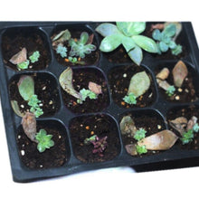 Load image into Gallery viewer, SeedingTray™ 12 Holes Plant Growing Tray Vegetable Flower Seeds Nursery Seedling Plate
