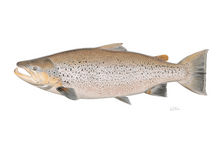 Load image into Gallery viewer, Late Summer Sea Run Brown Trout