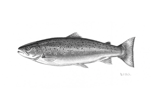 Sea Run Brown Trout - BW