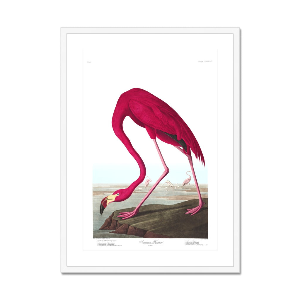 American Flamingo |  Framed & Mounted Print