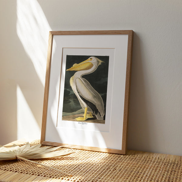 American White Pelican |  Framed & Mounted Print