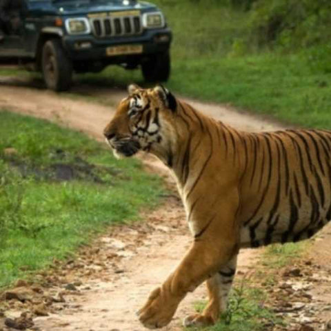 Tadoba-wildlife-tours-by-Serendipity-Holidays-Hyderabad-Telangana-India-500-500