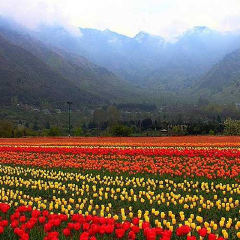 Tulip-Festival-Srinagar-kashmir-India-Hyderabad-Tour-Packages
