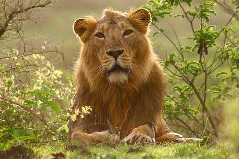 Sasan Gir Safari Tour 2 Nights And 3 Days From Hyderabad