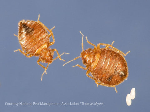 Two adult bed bugs next to one another with 2 white bed bug eggs in the lower right corner showing relative size difference.