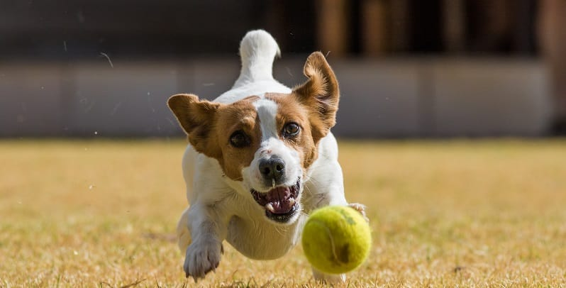 Jack Russel racing after ball