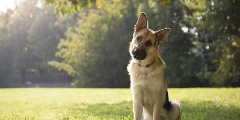 German Shepherd with tilted head